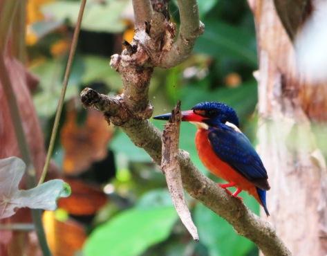 Burung di belakang kamar.. cantik biru oranye